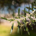 Miraglia Olive - Fioritura