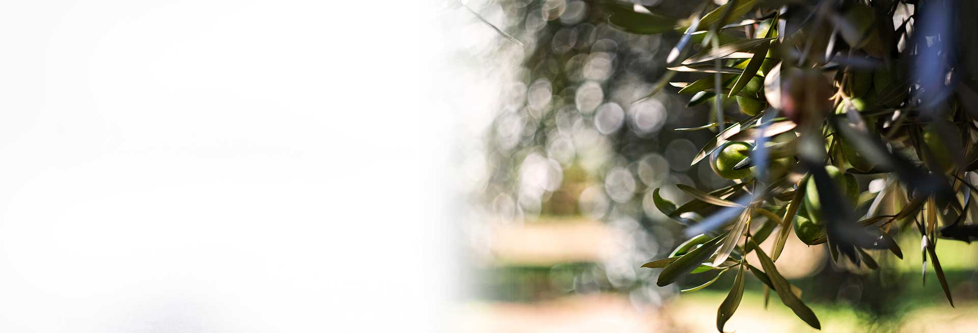 Miraglia Olive Cultivar