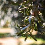 Miraglia Olive
